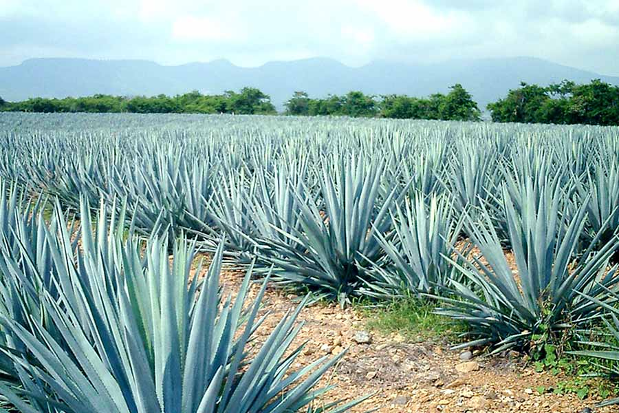 Any Agave Can Be Used for Mezcal but in Jalisco There Is Only One