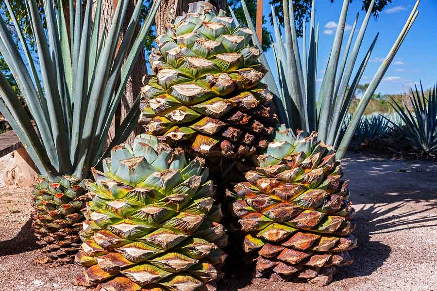 Blue Agave Fun Facts Tequila And Beyond
